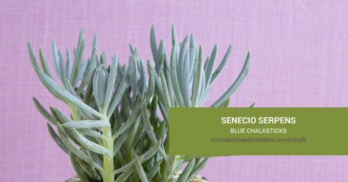 Senecio serpens Blue Chalksticks care and propagation information