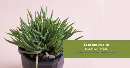 Senecio vitalis Blue Chalk Fingers care and propagation information