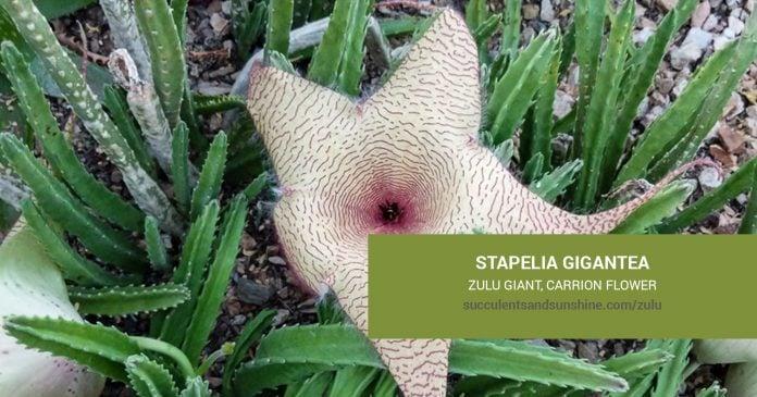 Stapelia gigantea care and propagation information