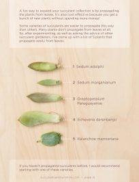 Succulents to propagate via leaves