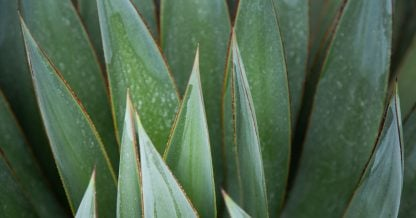 agave blue glow leaves close up
