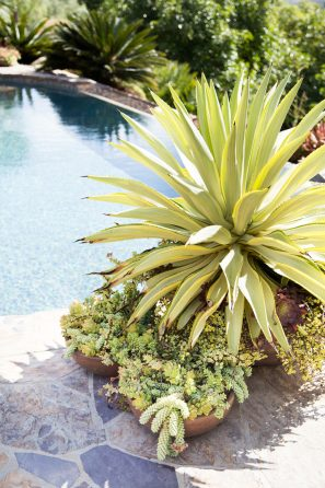 agave sedums poolside succulents