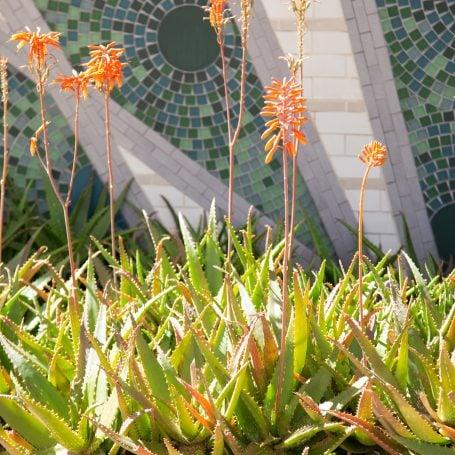 orange flowers aloe summer dormant succulent