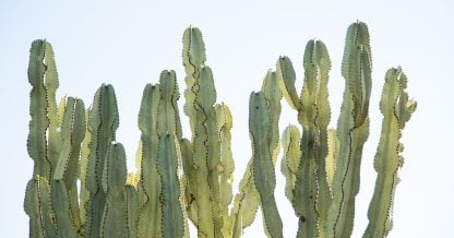 poisonous succulents tips stay safe euphorbia