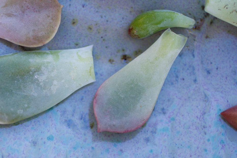 poorly removed leaves from succulents for propagation