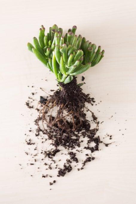 gollum jade bare root removed organic soil replanting
