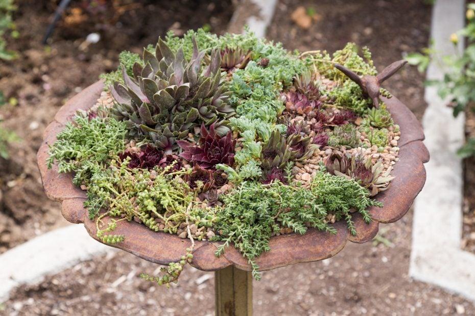 sempervivum succulents sedums cold hardy top dressing bird bath