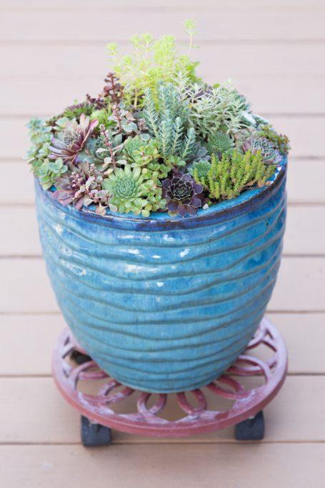 blue succulent pot plant dolly