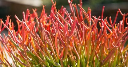 bright red orange green sticks on fire eupborbia