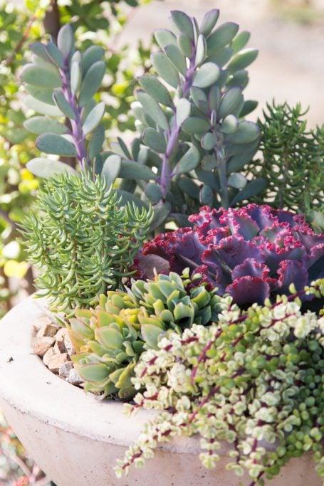 colorful combination succulents purple green senecio crassissimus wavy jade crassula tetragona portulacaria afra variegata bright light outside