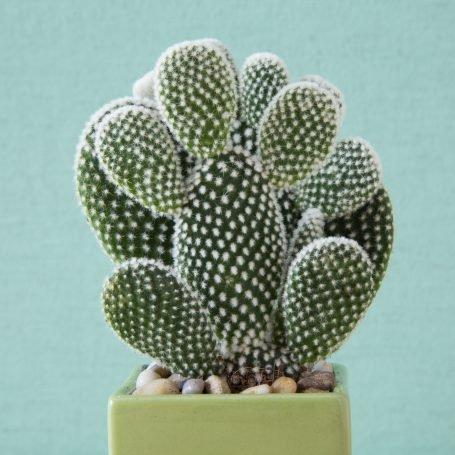bunny ears opuntia angel wings tiny spines get stuck in fingers