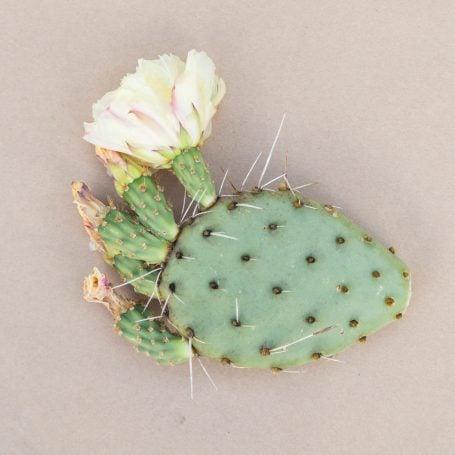 opuntia pina colada cactus pad with flowers