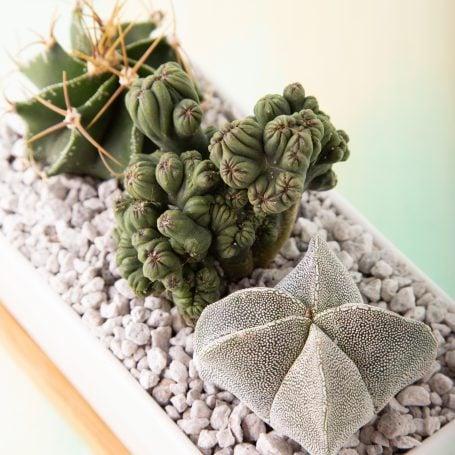 cactus varieties star ming thing bishop's cap