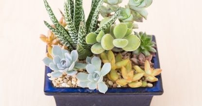 care tips for succulents winter