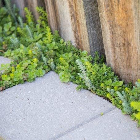 cold hardy sedums growing by sidewalk