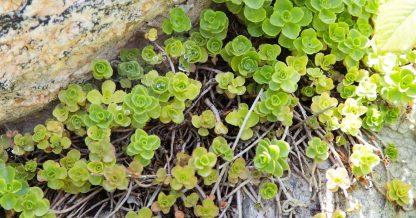 cold hardy sedums growing in rock