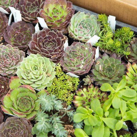 cold hardy sempervivum hueffelii sedum mountain crest gardens tray