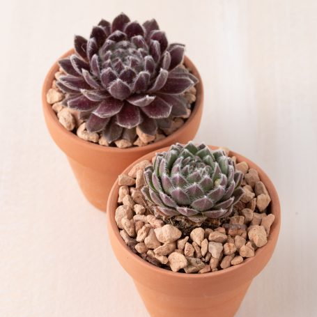 cold hardy succulents terra cotta pot