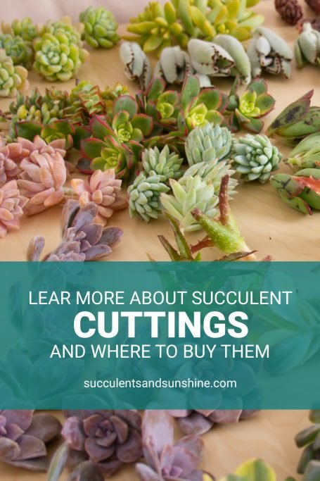 grow succulents from cuttings