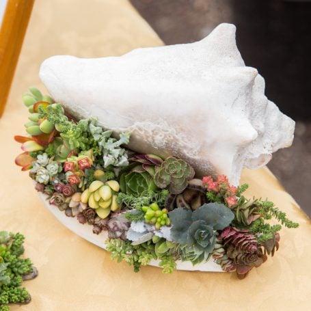 miniature succulent cuttings filling white conch shell