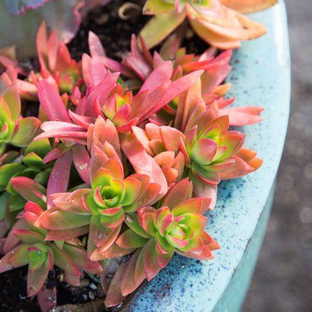crassula planter photo tips