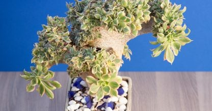 large crested sunburst succulent