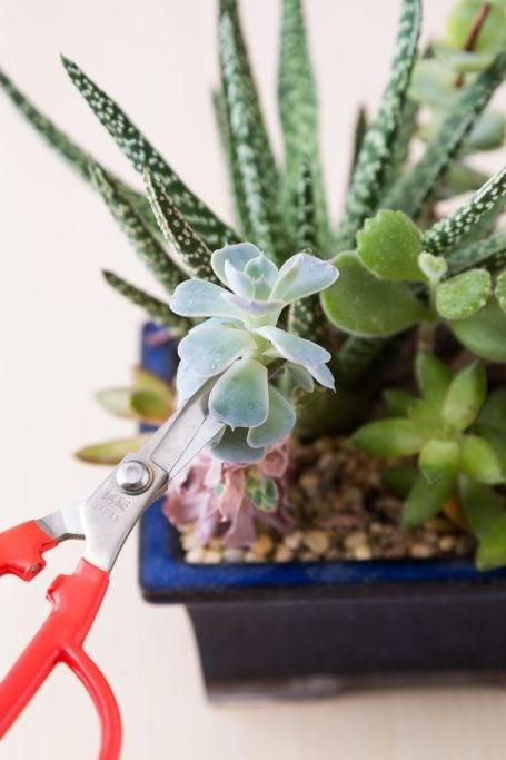 use sharp scissors to prune succulent echeveria