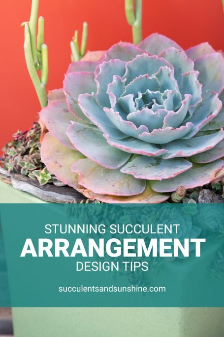 design tips for stunning succulent arrangements large ruffled echeveria crassula calico kittens