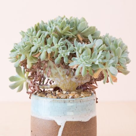 dried leaves on succulents