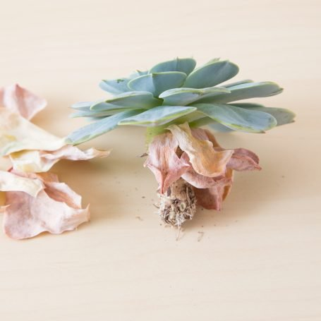 echeveria imbricata dried out leaves no roots under watered