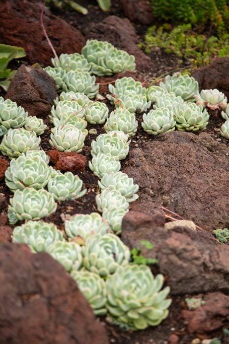echeveria elegans lava rock clusters green rosette winter dormant