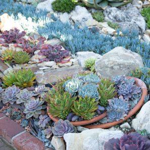echeverias succulents sempervivums sherman gardens
