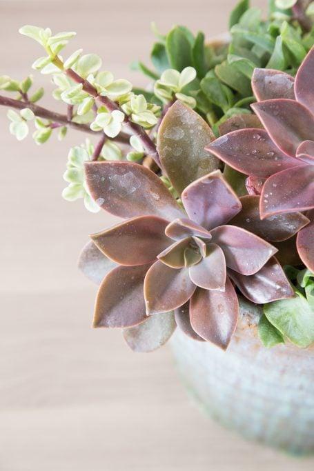 succulent arrangement design color scheme graptoveria fred ives portulacaria afra variegata