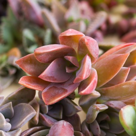 pink fred ives succulent cuttings