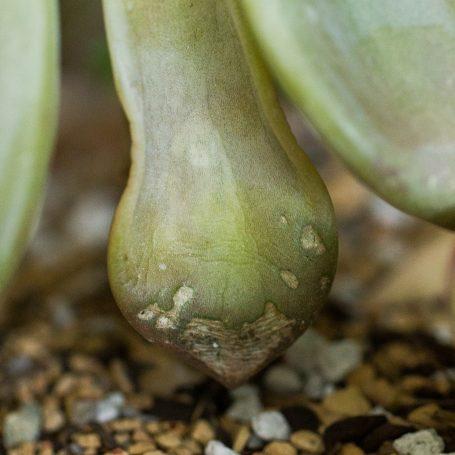 frost damage succulent