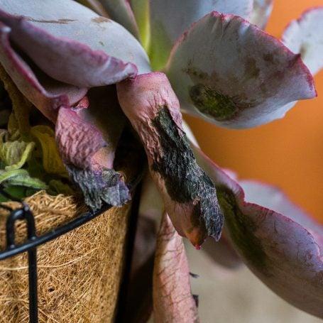 frost damaged echeveria
