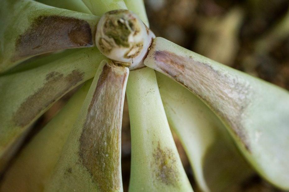 frost damaged succulent