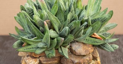 gasteria little warty cluster