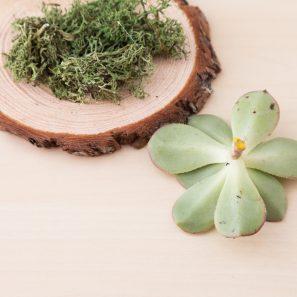 glue succulent cutting on moss