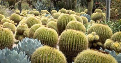 golden barrel cactus clusters