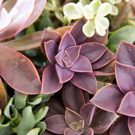 easily propagate graptoveria fred ives from leaves cuttings