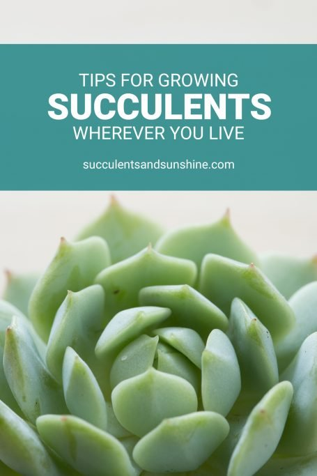 blue green echeveria tips for growing succulents wherever you live