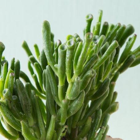 deep green crassula ovata gollum jade