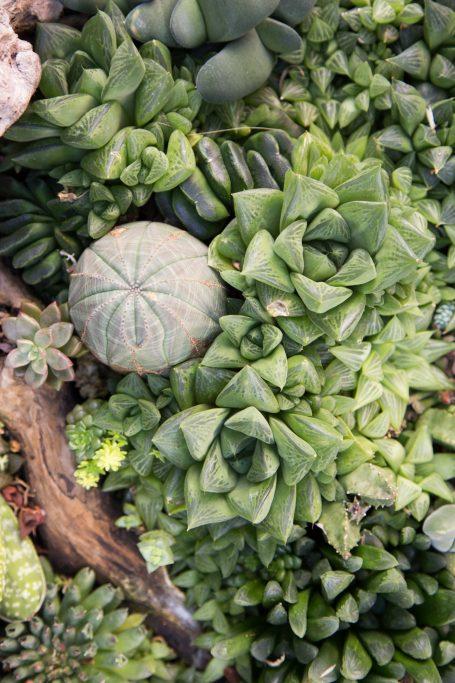 monochoromatic succulent arrangement euphorbia obesa haworthia mutica turgida green