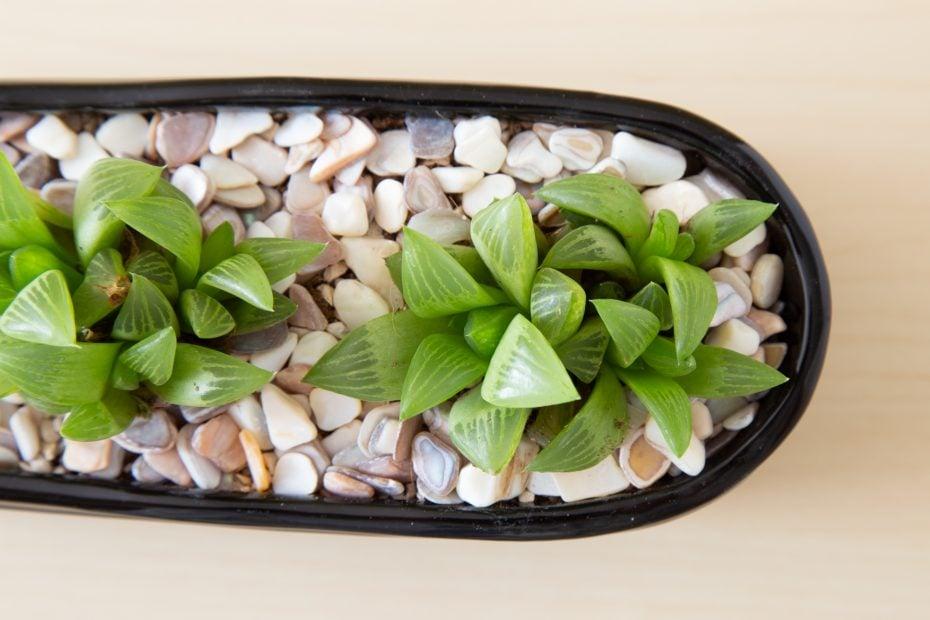 haworthia retusa black pot shell top dressing identify succulents