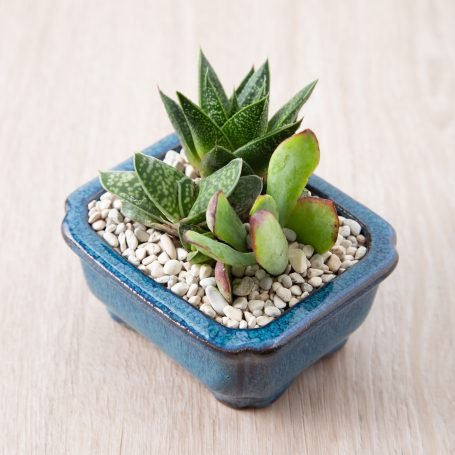 how to properly water indoor succulents so they thrive crassula gasteraloe gasteria