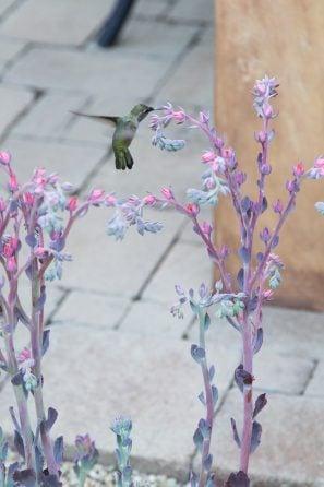 hummingbird succulent flowers