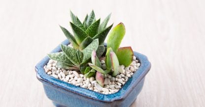 tips for indoor succulent care