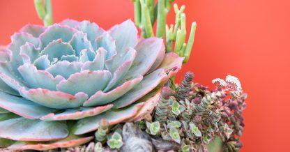bright colored succulent arrangement design tips echeveria crassula