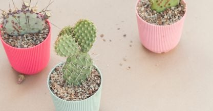 potted opuntia cactus pads how to propagate